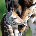 Mamãe Girafa e seu filhote.