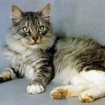 Gatos-Maine-Coon