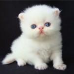 Persa-Branco