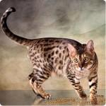 foto-gato-bengal