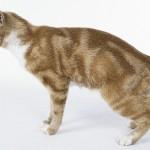 gato-de-raça-manx