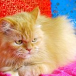 gato-persa-amarelo