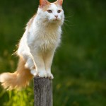 Cat on a Fencepost