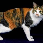 raça-de-gato-bobtail-japones