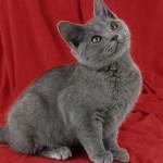 raça-de-gato-chartreux