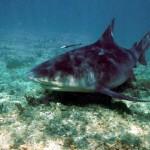 São encontrados nas proximidades das praias, rios e lagoas (Foto:Divulgação)