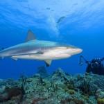 O tubarão touro come qualquer tipo de animal (Foto:Divulgação)