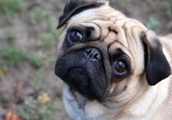 Cão da raça Pug (Foto Divulgação: MdeMulher)