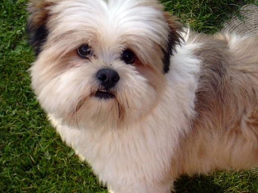 Cão perfeito para quem precisa de companhia (Foto Divulgação: Os Paparazzi)