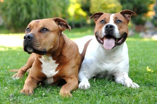 Cão fiel ao seu dono, embora meta muito medo (Foto Divulgação: Meus Animais)