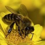Abelhas podem polinizar até 40 mil flores por dia (Foto:Divulgação)