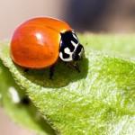A joaninha também é um besouro (Foto:Divulgação)