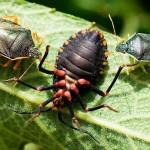 Percevejos da ordem Hemiptera  (Foto:Divulgação)