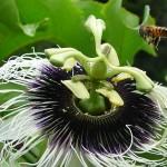 Abelha na Flor (Foto:Divulgação)