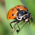 Joaninhas são insetos coleópteros(Foto:Divulgação)