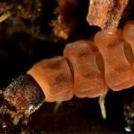 Larva de besouro  (Foto:Divulgação)