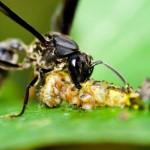 Vespa da ordem Hymenoptera  (Foto:Divulgação)