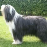 Cão da raça Bearded Collie (Foto:Divulgação)