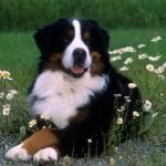 Cachorro da Raça Bernêsee (Foto:Divulgação)