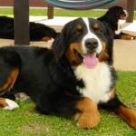Cão da raça Bernêsee(Foto:Divulgação)