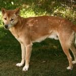 Cão Cantor de Nova Guiné (Foto:Divulgação)