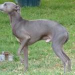 Cão Pequeno Lebrel Italiano (Foto:Divulgação)