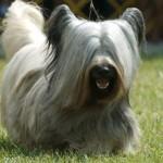 Raça Skye Terrier (Foto:Divulgação)