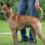 Cachorro da raça Thai Ridgeback (Foto:Divulgação)