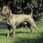 Cão da raça Thai Ridgeback (Foto:Divulgação)