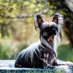 Cão da raça Crista Chinês (Foto:Divulgação)
