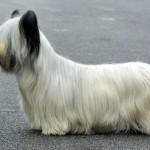 Cão Skye Terrier (Foto:Divulgação)