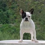 Bulldog Francês (Foto:Divulgação)