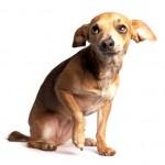 Chihuahua (Foto:Divulgação)