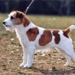 Jack Russell Terrier (Foto:Divulgação)