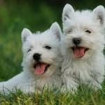 West Highland Terrier (Foto:Divulgação)