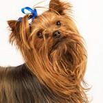 Yorkshire Terrier (Foto:Divulgação)