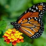 Borboleta monarca (Foto:Divulgação)