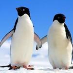 Pinguim de Magalhães (Foto:Divulgação)