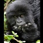 Gorilas das montanhas (Foto:Divulgação)