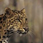 Leopardo de Amur (Foto:Divulgação)