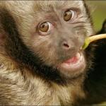Macaco prego de peito amarelo (Foto:Divulgação)