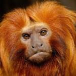 Mico leão dourado (Foto:Divulgação)
