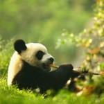 Urso panda (Foto:Divulgação)