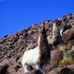 As Lhamas no Atacama (Foto:Divulgaçao)