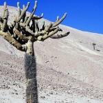 Cactus no Atacama (Foto:Divulgaçao)