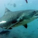 O tubarão tigre é uma das espécies que podem ser encontradas no litoral brasileiro.