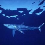Fotos de tubarões, espécies, tamanhos5