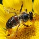 Há séculos o trabalho das abelhas é alvo da apreciação humana.
