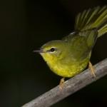 Não é preciso autorização o Ibama para a criação de aves com origem de países do exterior (Foto: Divulgação)