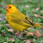 O pássaro se alimenta de ovo cozido, couve, agrião ou ração especifica (Foto: Divulgação)